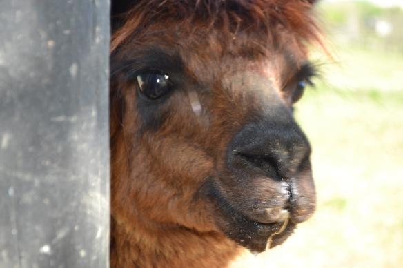 ...which is also an alpaca farm.